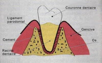 Parodontologie: schémas - les maladies parodontales